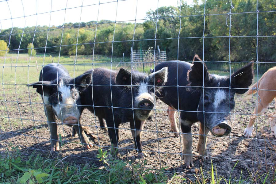 Pigs behind chicken wire fence